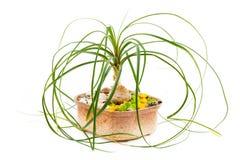 Het been van de bloemolifant Zaal bloem in ceramische bloempot Stock Foto