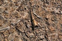 Het Been van de dinosaurus Stock Afbeeldingen