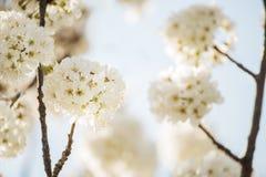 Het begin van bloeiende zoete kersenboom Openings prachtige tedere eerste bloemen Artistieke foto stock foto