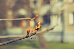 Het begin van de kastanjeboom Royalty-vrije Stock Foto's