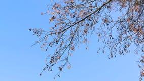 Het begin van de lente naakte takken van bomen tegen een blauwe hemel stock video