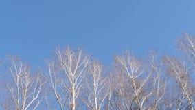 Het begin van de lente witte berk zonder gebladerte op blauwe hemel stock footage
