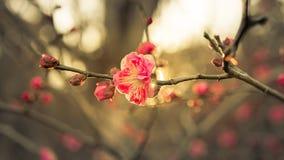 Het begin van de sakurabloem aan bloesem Royalty-vrije Stock Afbeeldingen