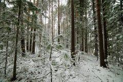 Het begin van de winter in het Altai-bos Royalty-vrije Stock Afbeelding
