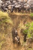 Het begin van een grote migratie Kudden van het meest wildebeest op Mara River Kenia, Afrika Stock Afbeeldingen