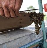 Het begin van het zwermen van de bijen Een kleine zwerm van gefascineerde bijen op kartondocument apiary Stock Fotografie