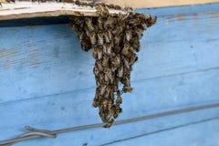 Het begin van het zwermen van de bijen Een kleine zwerm van gefascineerde bijen op kartondocument apiary Stock Foto