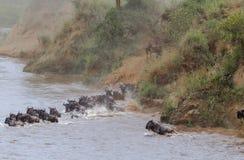 Het begin van kruising het meest wildebeest op Mara River Kenia, Afrika Royalty-vrije Stock Foto's