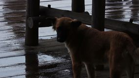 Het behandelen van dakloze dieren Verdwaalde hond die een vriend in de regen zoeken stock video