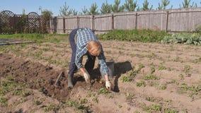 Het bejaarde graaft Rijpe Aardappels van de Bedden in de Tuin en brengt Emmer aan stock footage