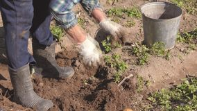 Het bejaarde graaft Rijpe Aardappels van de Bedden in de Tuin en brengt Emmer aan stock video
