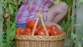 Het bejaarde verzamelt indient een mand van rijpe tomaten in de serre stock videobeelden
