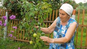 Het bejaarde verzamelt peren in de tuin stock videobeelden
