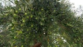 Het bekijken grote groene olijfboom in de tuin stock footage