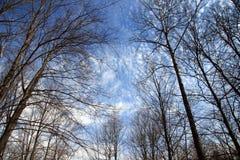 Het bekijken omhoog Bomen en Blauwe Hemel Royalty-vrije Stock Foto