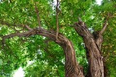 Het bekijken omhoog boomtakken Stock Afbeelding