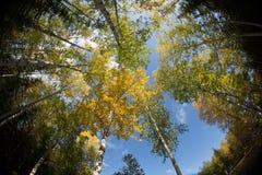 Het bekijken omhoog de Berkbomen stock afbeelding