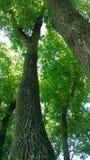 Het bekijken omhoog de bomen Royalty-vrije Stock Afbeeldingen