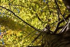 Het bekijken omhoog de boom gele dalingsbladeren Royalty-vrije Stock Afbeeldingen