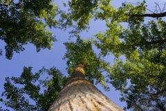 Het bekijken omhoog de hemel van de grond in het bos stock foto