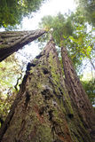 Het bekijken omhoog een boom van de Californische sequoia Stock Foto