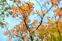 Het bekijken omhoog een kastanjeboom in de herfst Royalty-vrije Stock Afbeelding