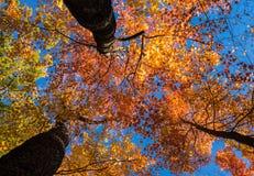 Het bekijken omhoog heldere zonovergoten dalingsbladeren Stock Fotografie