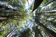 Het bekijken omhoog lange bomen Royalty-vrije Stock Fotografie
