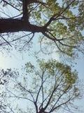Het bekijken omhoog Lange Bomen met Gevoelige Bladeren Royalty-vrije Stock Afbeeldingen