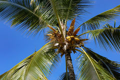 Het bekijken omhoog palm met kokosnoten royalty-vrije stock fotografie