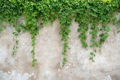 Het beklimmen van bladeren op grijze muurachtergrond Royalty-vrije Stock Afbeeldingen