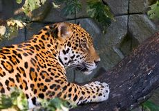 Het beklimmen van de jaguar stock foto's