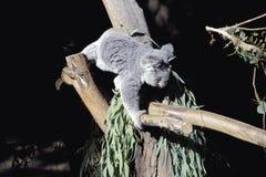 Het beklimmen van de koala Royalty-vrije Stock Foto