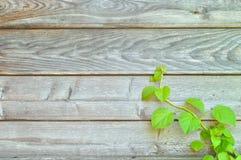 Het beklimmen van hydrangea hortensia op een rustieke houten muur Stock Afbeeldingen