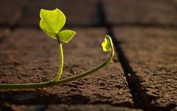 Het beklimmen van Ivy Leaf royalty-vrije stock foto