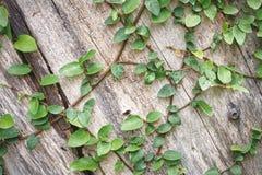 Het beklimmen van Ivy Plants op Houten Muurachtergrond stock afbeelding