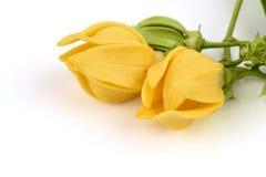 Het beklimmen van kananga-olie, ilang-ilang, manorangini, hara-champa of kantalichampa, bloemen die beklimmen Royalty-vrije Stock Afbeeldingen