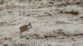 Het beklimmen van Nubian-de Steenbok Nubiana van Steenbokcapra in het natuurreservaat van Ein Gedi, Israël Stock Afbeelding