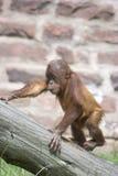 Het beklimmen van Orangoetan Royalty-vrije Stock Afbeeldingen