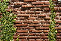 Het beklimmen van pumila van Ficussen op oude muur Stock Foto