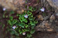 Het beklimmen van purpere uiterst kleine bloemen die op rotsen groeien royalty-vrije stock afbeelding