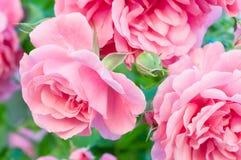 Het beklimmen van rozen stock foto