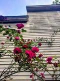 Het beklimmen van rozen royalty-vrije stock fotografie