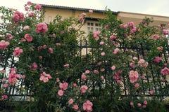 Het beklimmen van rozenlatwerk, mooie omheiningsvoorzijde van huis royalty-vrije stock foto