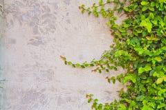 Het beklimmen van vijgeboom Stock Foto's