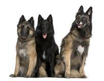Het Belgische de honden van de Herder zitten Stock Afbeelding