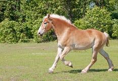Het Belgische het paard van het Ontwerp cantering Royalty-vrije Stock Foto