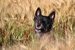 Het Belgische portret van de Herder Royalty-vrije Stock Fotografie