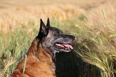 Het Belgische portret van de Herder Royalty-vrije Stock Foto