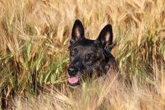 Het Belgische portret van de Herder Stock Fotografie